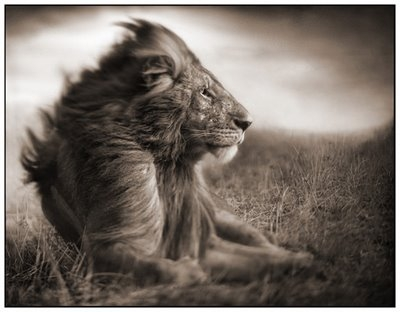 Great Lion Photos by Nick Brandt