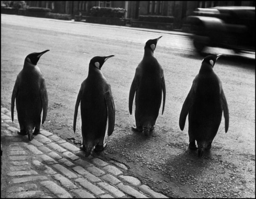 Ode to the Zoo, penguins in the street