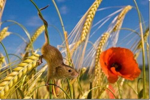 The secret life of the harvest mouse