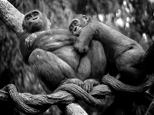 Lowland Gorillas National Geographic