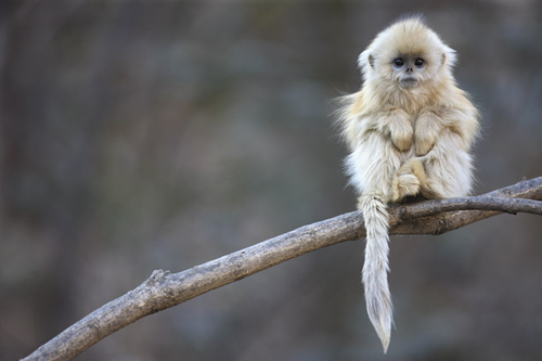 Snub-Nosed Monkeys - National Geographic Magazine