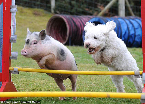 Pot-Bellied Pig Outshines Pooches In Wales Canine Agility Team | The Dog Files
