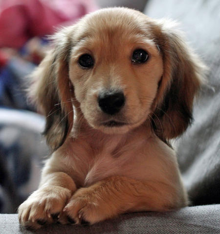 Kate the Miniature Dachshund | Puppies | Daily Puppy