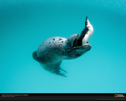 Leopard seal with penguin - Struggle for life