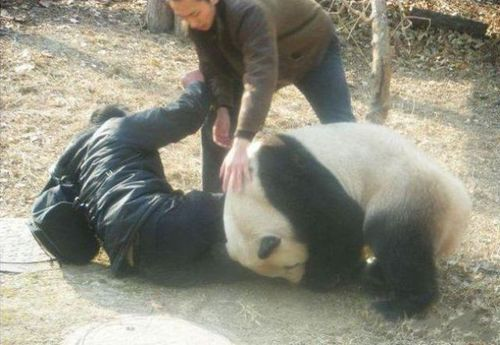 Attaque Animale : un panda anti intrus ?