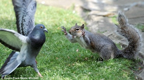 I'll teach you to steal my nuts: Squirrel goes into battle with pigeon over food | Mail Online
