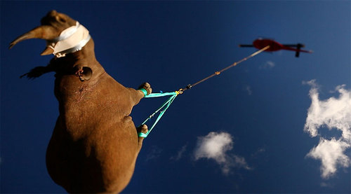 Rhinos get Upside-Down Helicopter Ride to Safety » Design You Trust – Design and Beyond!