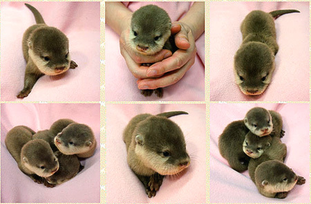 There is a serious lack of baby otters on r/aww - Imgur