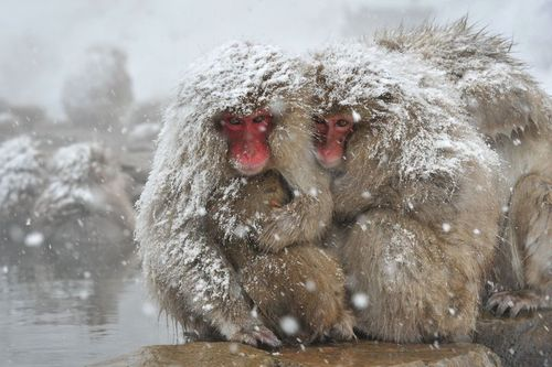 Macaques frileux