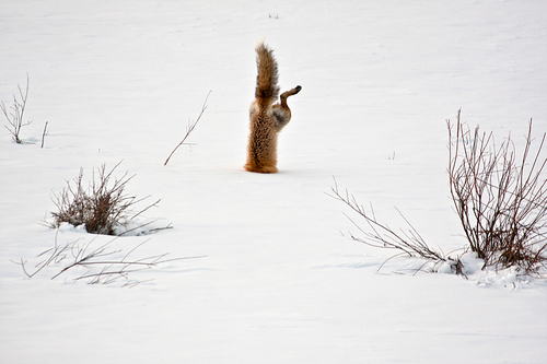 Red fox catching mouse under snow