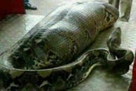 WHAT DID THIS PYTHON EAT? Shocking photo sparks rumour snake ate human