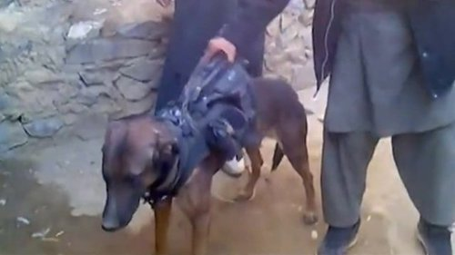 BBC News - Afghan Taliban capture British military dog