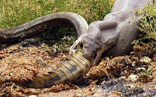 Snake Eating A Crocodile