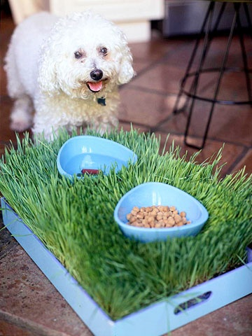 Wheatgrass for your dog