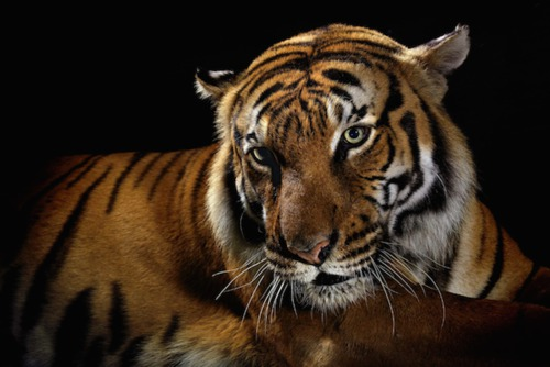 Dramatic Studio Portraits of Big Cats by NatGeo Photographer Vincent J Musi