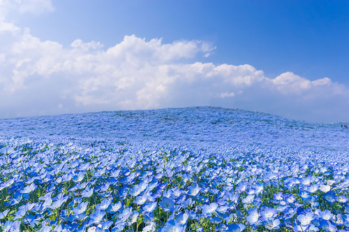 4.5 Million Baby Blue Eyes In Hitachi Seaside Park In Japan | Bored Panda